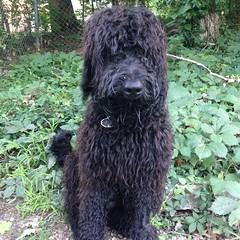 pumi(0.0), lagotto romagnolo(0.0), poodle crossbreed(0.0), bergamasco shepherd(0.0), puli(0.0), spanish water dog(0.0), newfoundland(0.0), mudi(0.0), miniature poodle(1.0), standard poodle(1.0), dog breed(1.0), animal(1.0), dog(1.0), schnoodle(1.0), pet(1.0), irish water spaniel(1.0), black russian terrier(1.0), bouvier des flandres(1.0), cã£o da serra de aires(1.0), portuguese water dog(1.0), barbet(1.0), carnivoran(1.0),