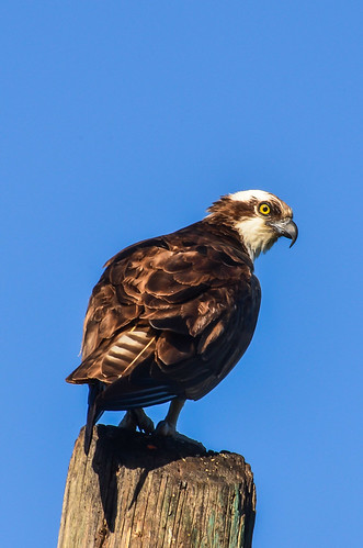 <p><i>Pandion haliaetus</i>, Pandionidae<br /> Road 22, Osoyoos, British Columbia, Canada<br /> Nikon D5100, 70-300 mm f/4.5-5.6<br /> July 26, 2014</p>