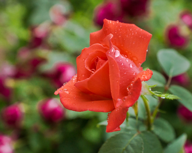 Rose, Red, Flower, Wet, Drops, Water Drops, Dew, Garden