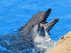 killer whale(0.0), spinner dolphin(0.0), animal(1.0), marine mammal(1.0), common bottlenose dolphin(1.0), marine biology(1.0), short-beaked common dolphin(1.0), fauna(1.0), dolphin(1.0), stenella(1.0), rough-toothed dolphin(1.0), tucuxi(1.0),