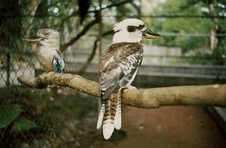 Kookaburra, Australia (1979)