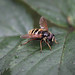 Sericomyia silentis - Allotment - 18th Sept