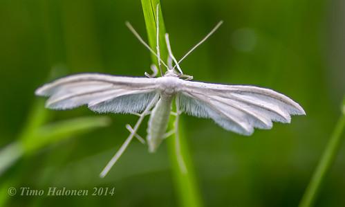 "macro insect moth 100mm tokina lepidoptera national polilla hyönteinen nikondx week"" whiteplumemoth tokina100mmf28atxprod d5200 nationalmothweek isosulkanen"
