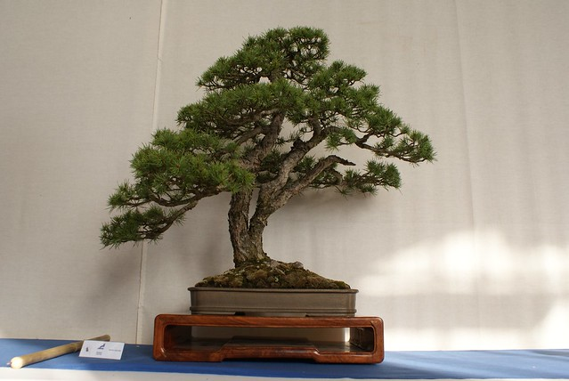 Bonsai de pin magnanime.