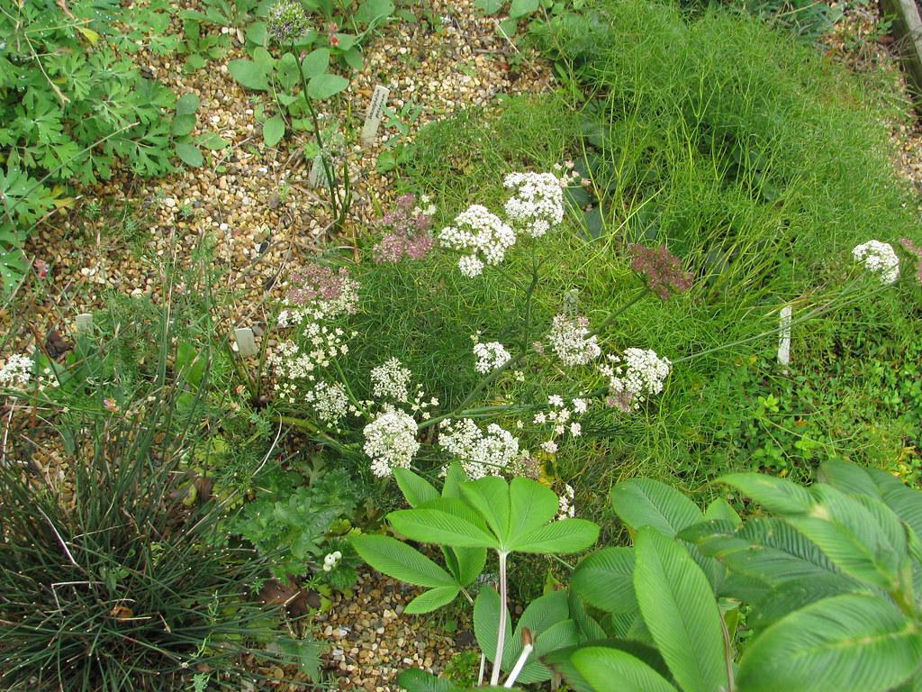 Seseli montanum or hippomarathrum