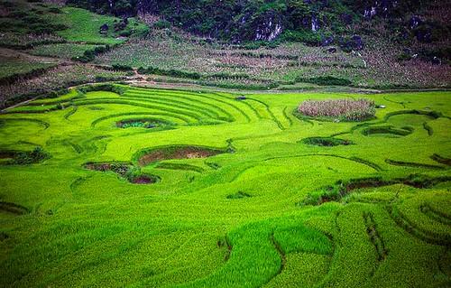 landscape rice paddy vietnam sapa