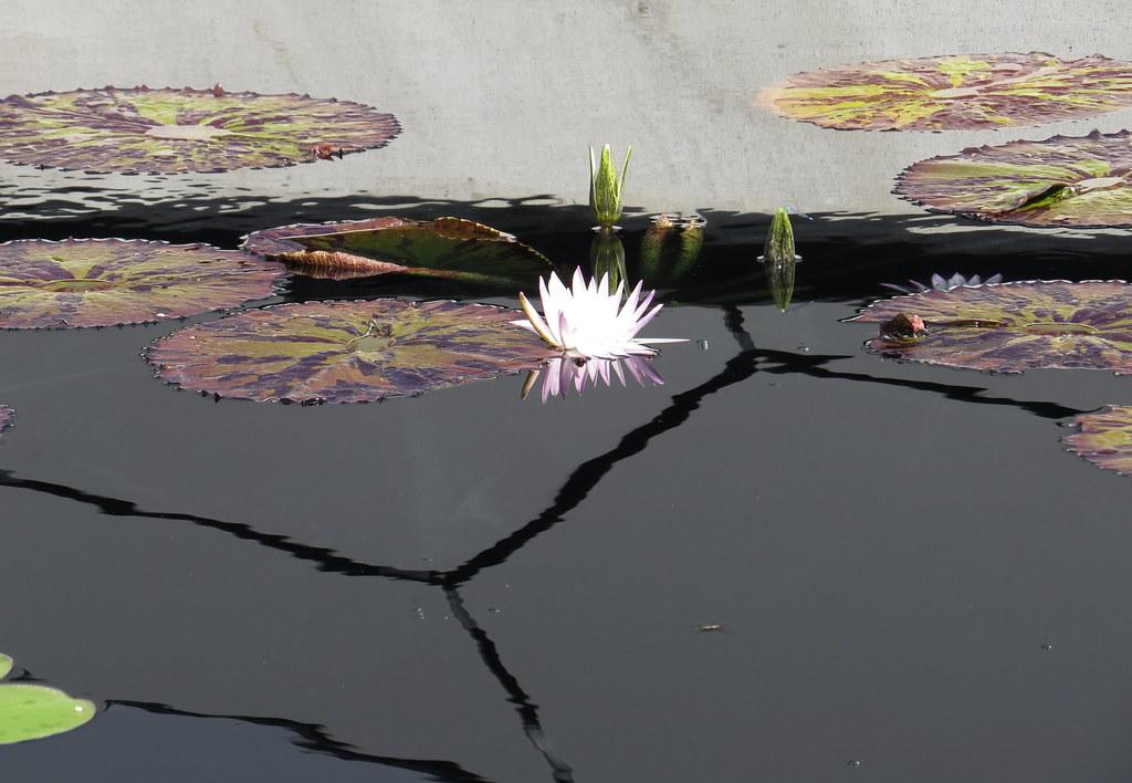 lotus Denver Botanic Gardens Colorado