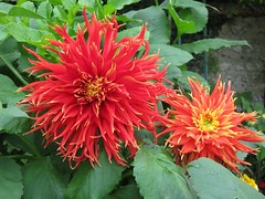 bee balm(0.0), asterales(1.0), annual plant(1.0), dahlia(1.0), flower(1.0), plant(1.0), flora(1.0), petal(1.0),
