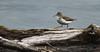 Spotted Sandpiper - Summerland