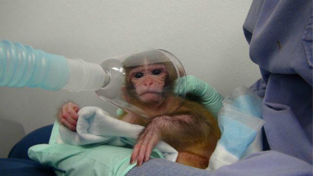 Video Denuncia Experimentos con Monos