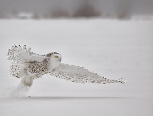 ottawa ontario canada snowyowl owl buboscandiacus bubo strigidae hornedowl nyctea nycteascandiaca nigelje