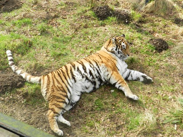 Amur Tiger, Highland Wildlife Park, Feb 2017