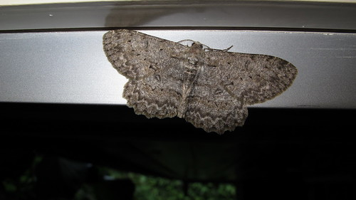Ectropis crepuscularia, wing span 38 mm (Engrailed moth - Zackenbindiger Rindenspanner - Boarmie crépusculaire)