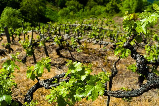 Viñas de Ribeira Sacra