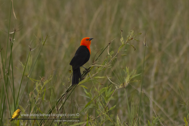 Federal (Scarlet-headed blackbird) Amblyramphus holosericeus