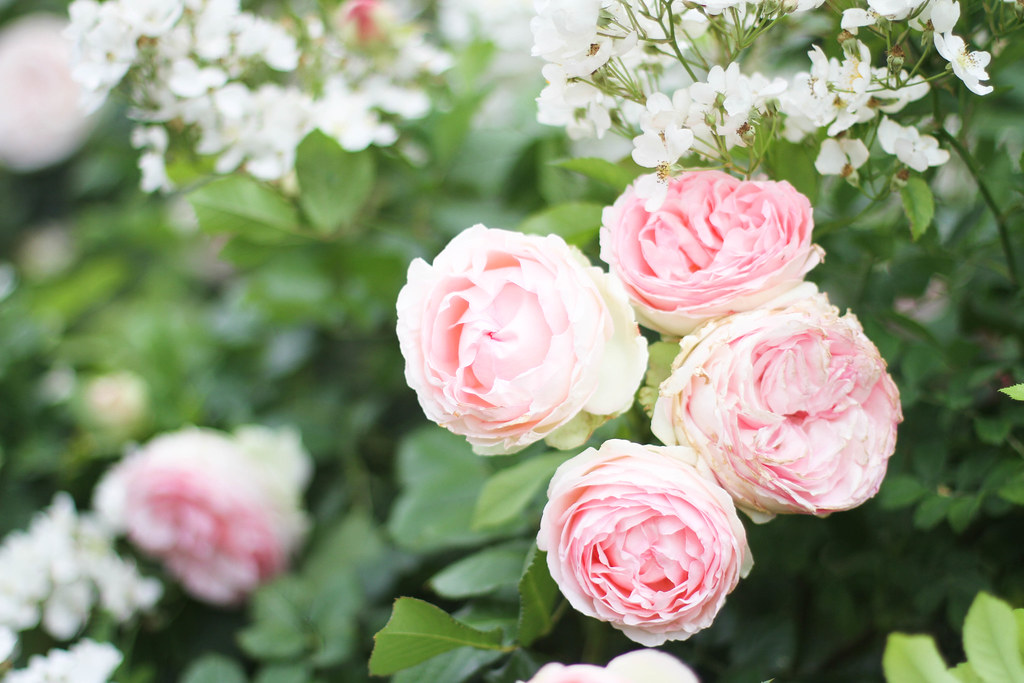 Palais Royal roses-8.jpg