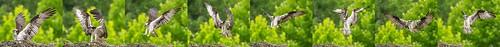 ohio osprey pandionhaliaetus morrow morrowgravelpit