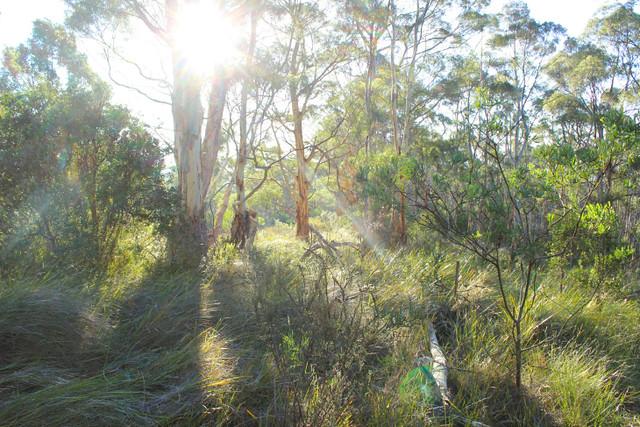 solstice bush