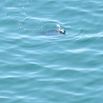 A seal at the Gower