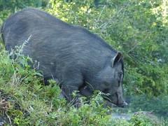 tapir(0.0), animal(1.0), peccary(1.0), wild boar(1.0), domestic pig(1.0), pig(1.0), fauna(1.0), pig-like mammal(1.0), wildlife(1.0),