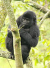 Mountain gorillas@Bwindi NP