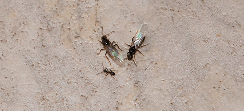 Flying Ants_Indoors_220714