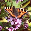 This fellow convinced me my parents' #garden needs a #butterfly bush.