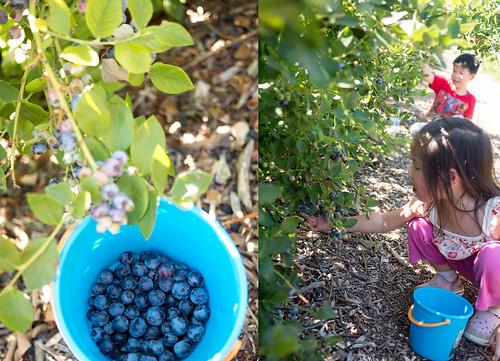 blueberry31