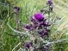 Thistle on Meall Greigh