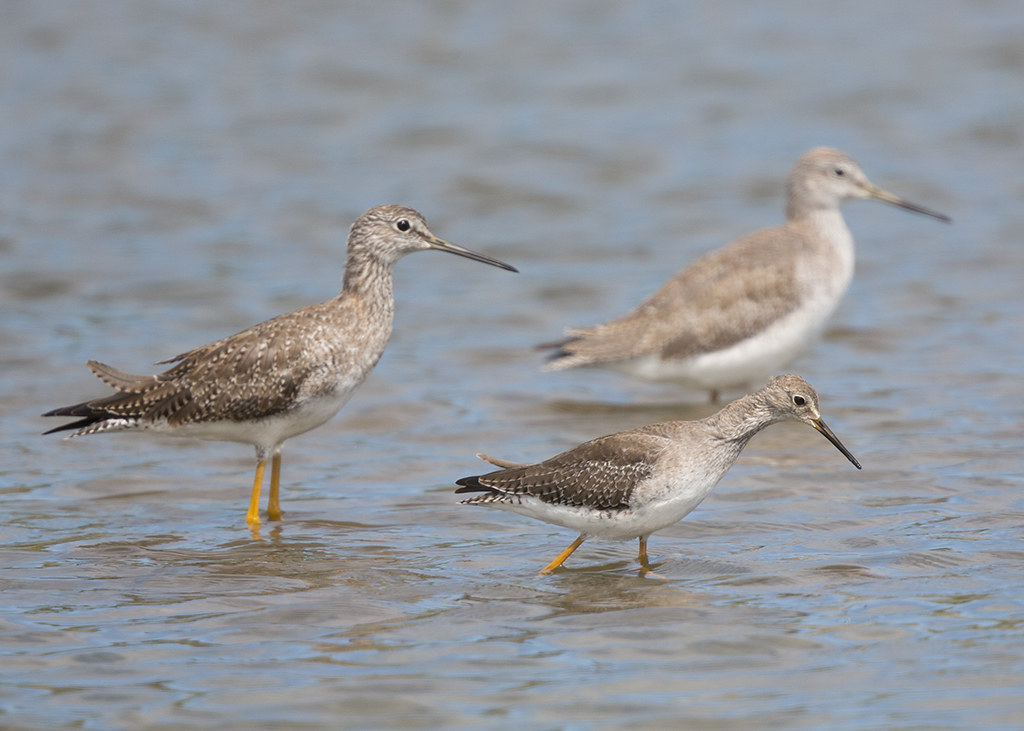 Greater and Lesser Yellowlegs 2014-02-04 (2)