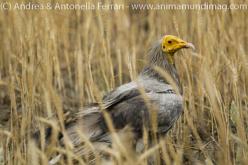 reefwondersdotnet posted a photo:	Egyptian vulture Neophron percnopterus, outskirts of Bharatpur, Rajasthan, India