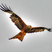 Red Kite HDR by Paddyeds