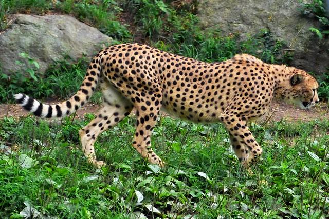 Cheetah Trot