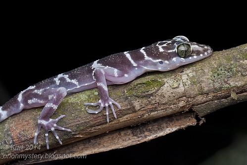 Cyrtodactylus consobrinus IMG_2786 copy