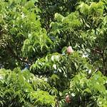 Swietenia macrophylla leaves and seed pod