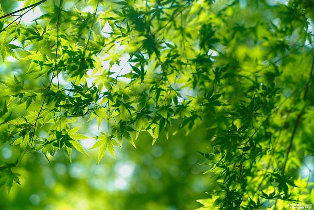 翠綠的楓葉