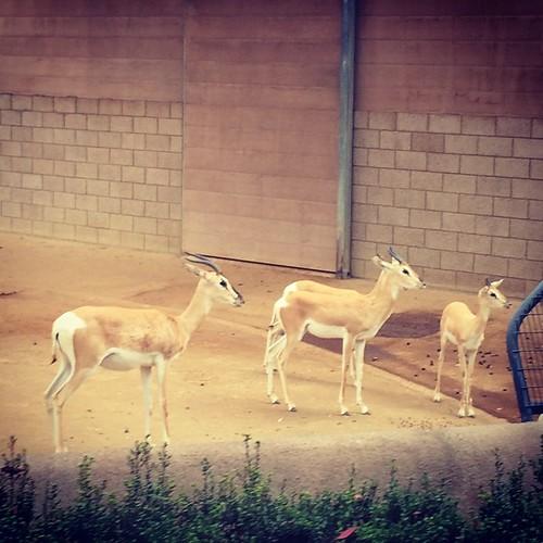 Baby #antelope! #sandiego #zoo #kategoestocalifornia