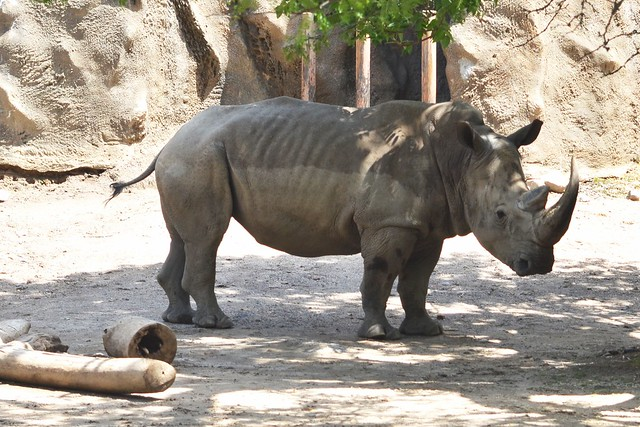 Tony, the Southern White Rhino