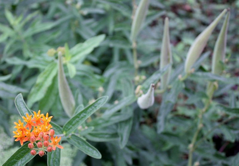 butterfly weed in bud and in seed