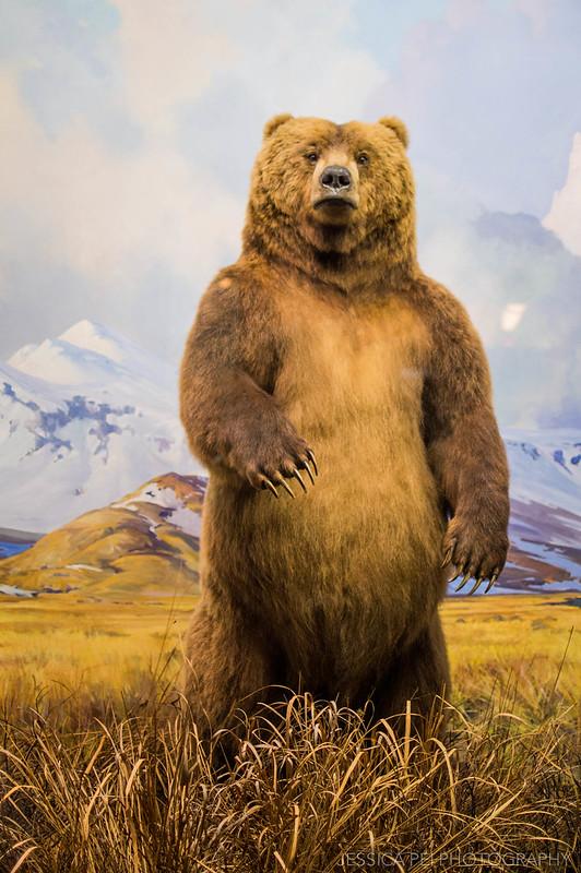 bear american museum natural history