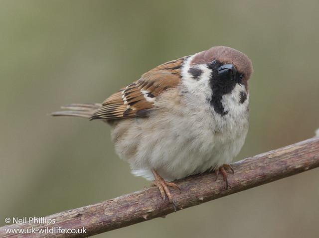 tree sparrow-15