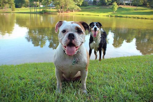 dogs landscape northcarolina bulldog englishbulldog gastonia heatherlock