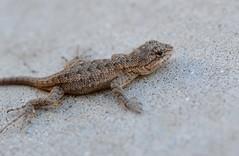 Little Yard Lizard
