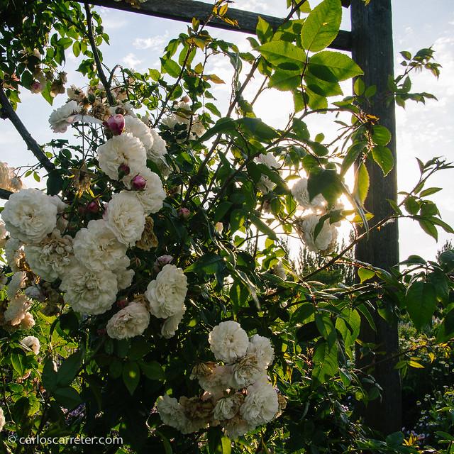 Flores en el Slottsparken - Malmö
