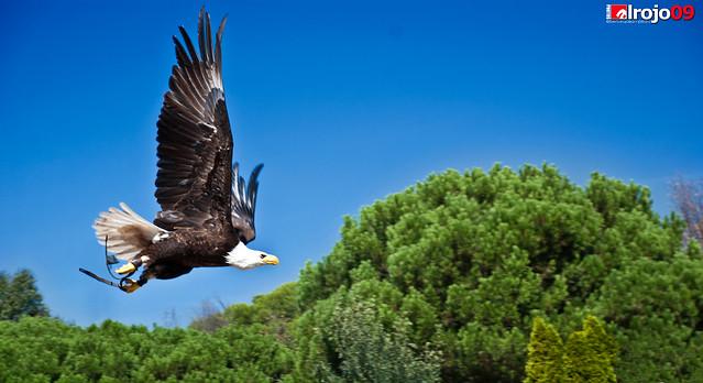 Vuelo | Águila Real
