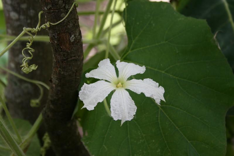 Bottlegourd flower