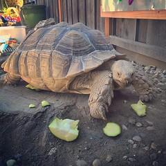 Avery's preschool has a tortoise!