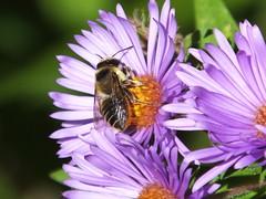 Honey Bee On Aster