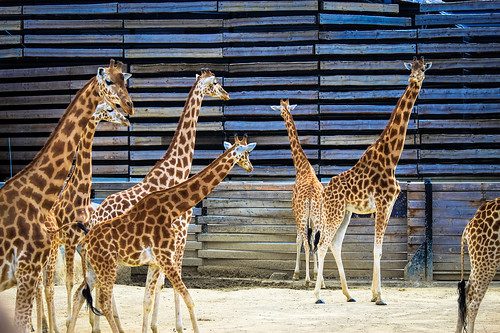 Many giraffes of Paris Zoo