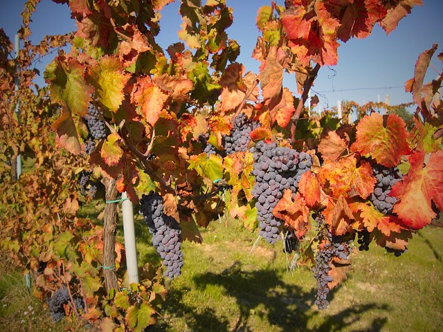 grapes-fall-italy-cr-brian-dore